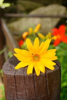 Piękny żółty kwiat na drewnianym płocie w ogrodzie