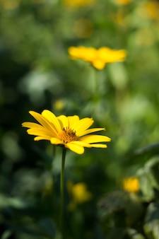 Piękny żółty kwiat topinambur w letnim ogrodzie.
