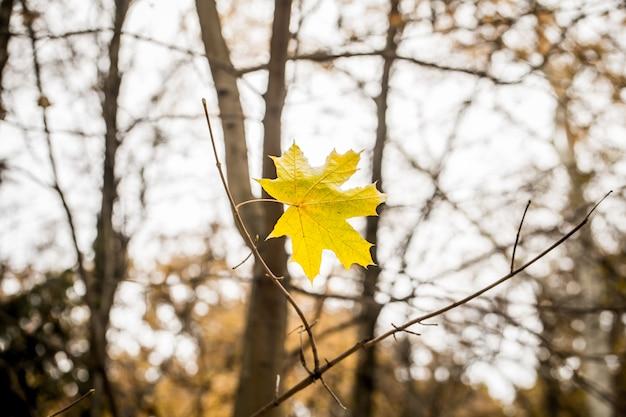 Piękny żółty liść waży się na gałęzi, zbliżenie