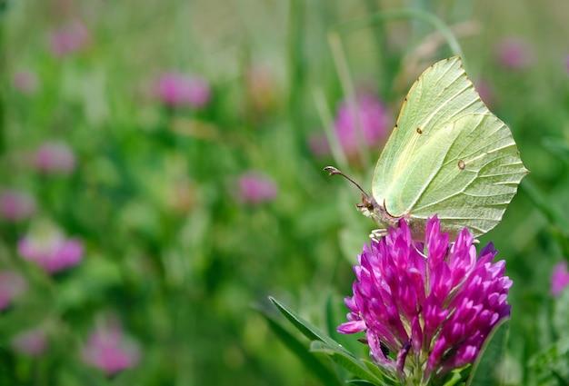 Piękny żółty motyl na kwitnącej łące