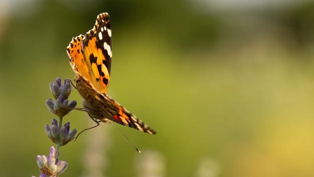 Piękny żółty motyl siedzi na gałęzi lawendy.