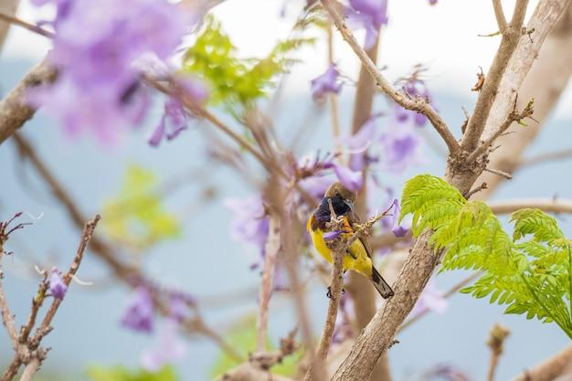 Piękny żółty ptak olivebacked sunbird