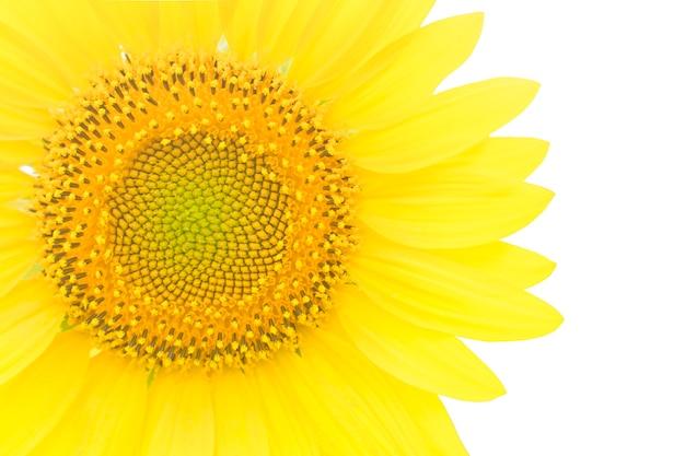 Piękny żółty słonecznik szczegół na białym tle na białym tle. miejsce