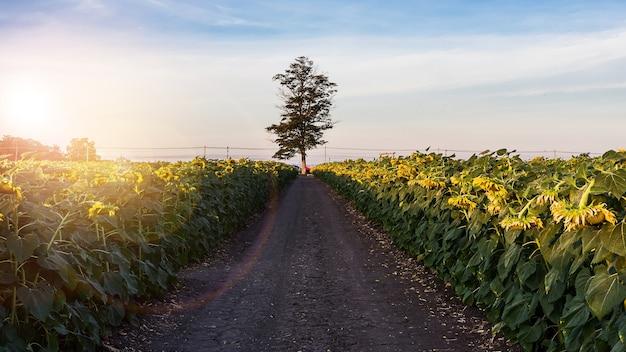 Piękny żółty słonecznik w polu przeciw błękitne niebo z białymi chmurami