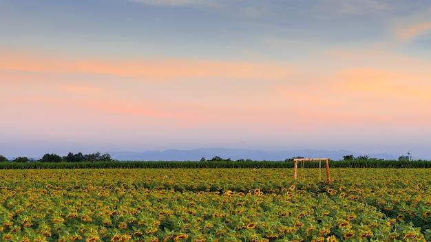 Piękny żółty słonecznik w polu przeciw błękitne niebo z chmurami