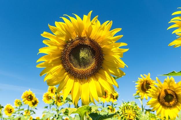 Piękny żółty słonecznik w polu przeciw błękitne niebo