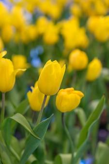 Piękny żółty tulipan kwitnie w ogródzie