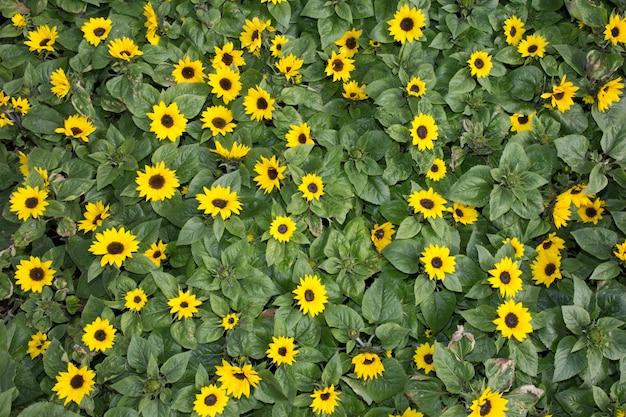 Piękny żółty wzór słoneczników