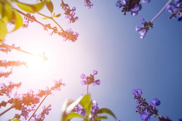 Pięknych kolorów lawendowi purpurowi pola z niebieskim niebem