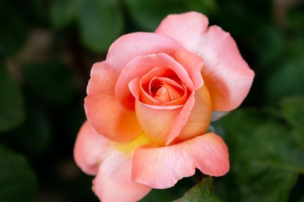 Pięknych kolorowych różanych kwiatów zamknięta up miękka ostrość