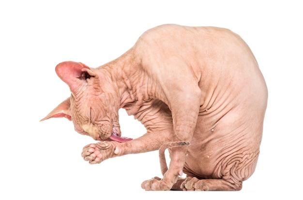 Pielęgnacja bezwłosego kota sphynx