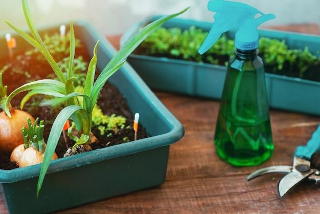Pielęgnacja ogrodu domowego z sadzonek w doniczce. podlewanie i cięcie zieleni, zieleni ogrodowej, która rośnie na oknie