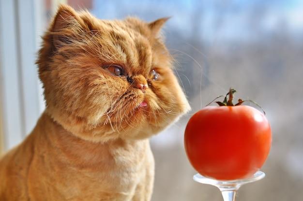 Pielęgnacja śmiesznego rudego kota perskiego z czerwonym pomidorem siedzi na parapecie i wygląda przez okno
