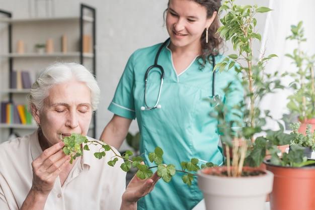 Pielęgniarka patrzeje starszego żeńskiego pacjenta wącha bluszcz rośliny w garnku