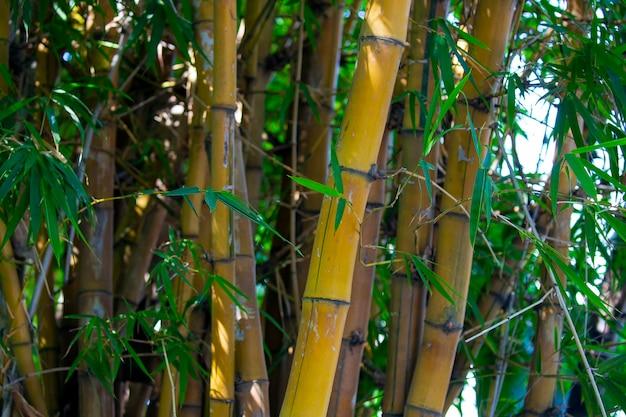 Pień bambusa w formie wydrążonej trzciny. szczegóły drzewa bambusa japoński las bambusowy w słoneczny dzień jest rodzajem trawiastej rośliny. mała bambusowa roślina ma wystające gałęzie i liście trzciny