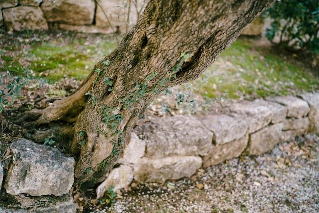 Pień drzewa oliwnego wyrasta z kamieni w gaju oliwnym