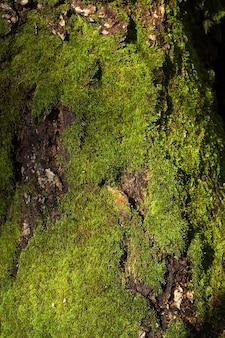 Pień drzewa porośnięty gęstym zielonym mchem.