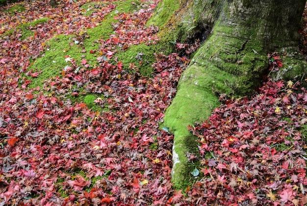 Pień drzewa w lesie z korzeniem pokrytym mchem i jesiennymi kolorowymi liśćmi klonu na ziemi