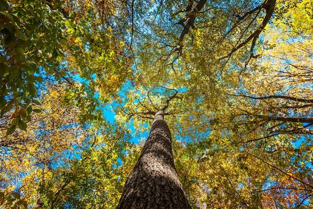 Pień i gałęzie starej korony drzewa