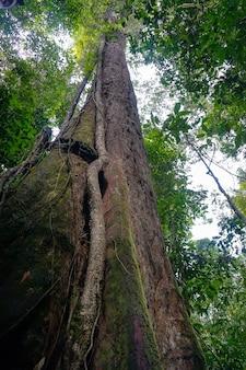Pień starego wysokiego drzewa w dżungli. widok z dołu