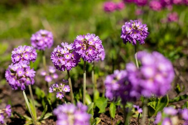 Pierwiosnek pierwiosnek z fioletowymi kwiatami. inspirująca naturalna kwiecista wiosna lub lato kwitnący ogród lub park w miękkim świetle słonecznym i niewyraźne tło bokeh. kolorowy kwitnący ekologii natury krajobraz