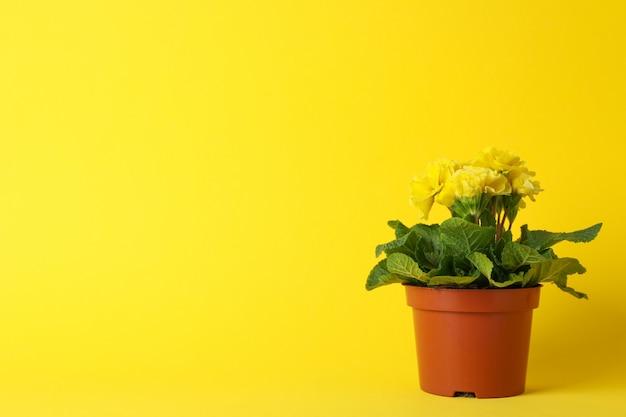 Pierwiosnek w garnku na żółtym tle, przestrzeń dla teksta