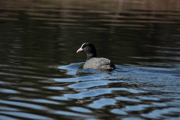 Pierwsze dni wiosennych kaczek pływają w jeziorze w słoneczny dzień