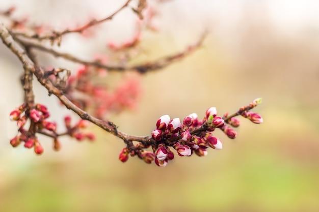 Pierwsze kwitnienie jabłka lub moreli wiosną. gałęzie z pąkami kwiatowymi