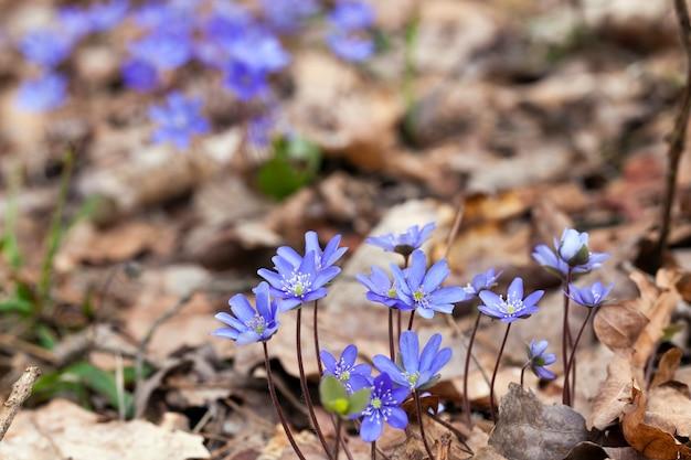 Pierwsze niebieskie leśne kwiaty na wiosnę, leśne rośliny na wiosnę w lesie