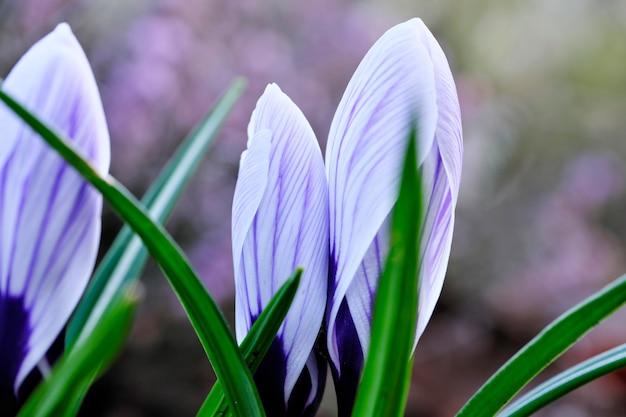 Pierwsze przebiśniegi wiosennych kwiatów
