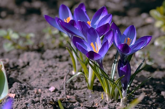 Pierwsze wiosenne kwiaty niebieskie krokusy