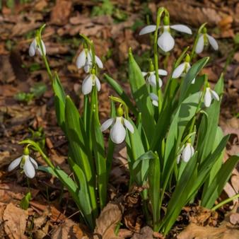 Pierwsze wiosenne kwiaty przebiśnieg w rozkwicie; poziomy.