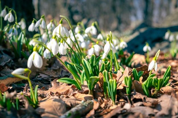 Pierwsze wiosenne kwiaty przebiśniegi w lesie.