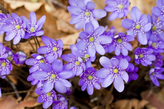 Pierwsze wiosenne kwiaty, rosnące w lesie. dzwonek