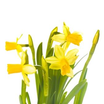 Pierwsze wiosenne kwiaty - żółty żonkil na białym tle