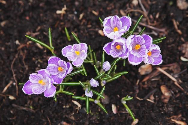 Pierwsze wiosenne kwiaty.