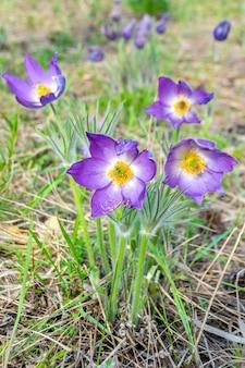 Pierwsze wiosenne niebieskie przebiśniegi kwiaty na polu pod lasem