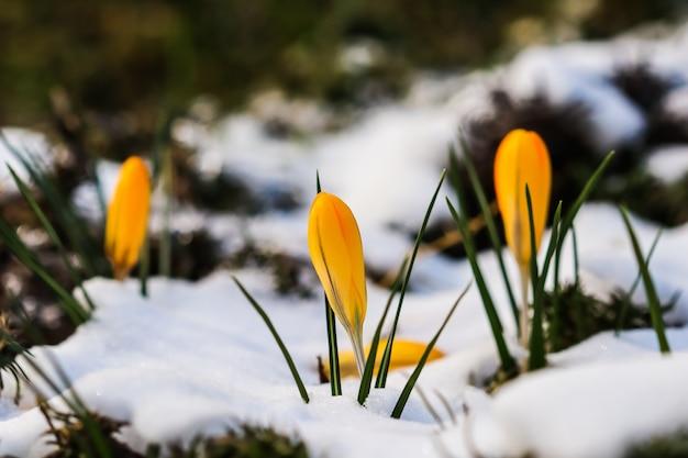 Pierwsze żółte krokusy spod śniegu w ogrodzie w słoneczny dzień