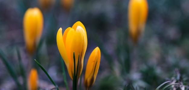 Pierwsze żółte krokusy w moim ogrodzie na wiosnę