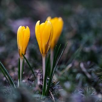 Pierwsze żółte krokusy z kroplami deszczu w wiosennym ogrodzie