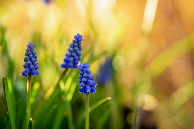 Pierwszy wiosenny muscari na kwietniku w ogrodzie w słoneczny dzień z naturalnym bokeh.