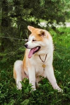 Pies akita inu siedzi szczęśliwy w zielonym lesie