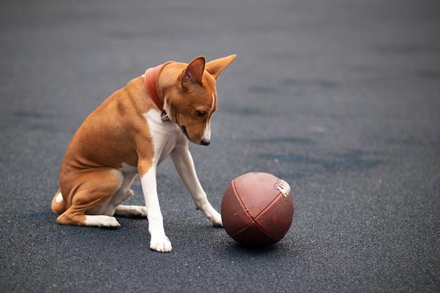 Pies basenji z piłką do rugby
