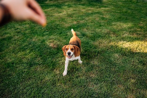 Pies beagle czeka na ucztę.