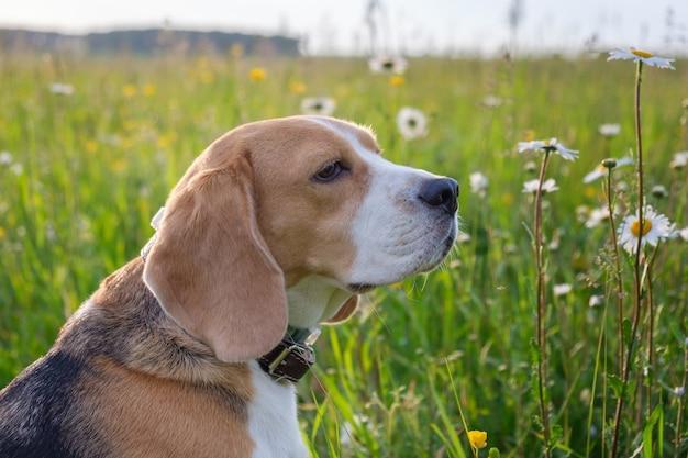 Pies beagle na spacerze latem na zielonej łące z dzikimi białymi stokrotkami