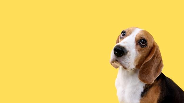 Pies beagle na żółto w studio.