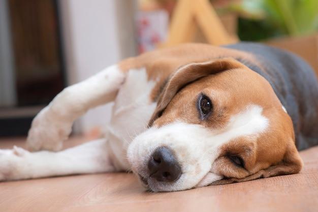 Pies beagle śpi i patrzył z przyjemnym wzrokiem