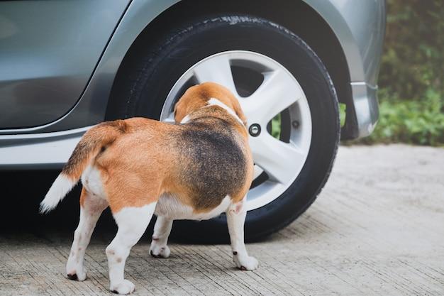 Pies beagle wącha i przegląda koło samochodu przed siusiu