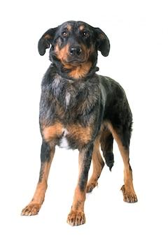 Pies beauceron w studio