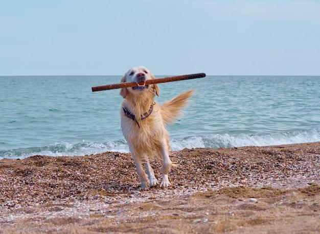 Pies biały złoty labrador retriever na plaży